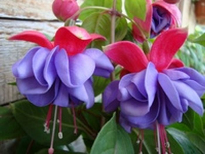 Цветы комнатные фиалка фуксия купить хайфа купить послать цветы