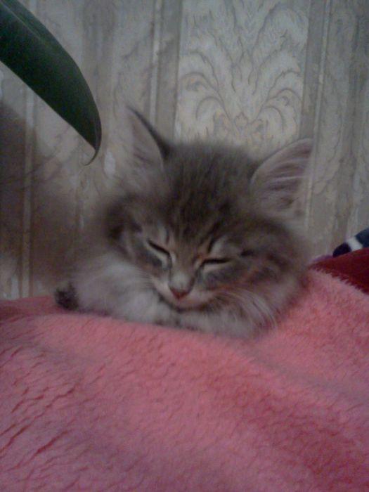 Сибирского кот в красноярске